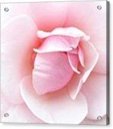 Powder Puff Rose Acrylic Print by Florene Welebny