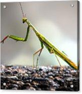 Praying Mantis  Acrylic Print by Bob Orsillo