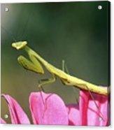 Praying Mantis Acrylic Print by Photostock-israel