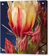 Prickly Pear Flower Acrylic Print by Kelley King