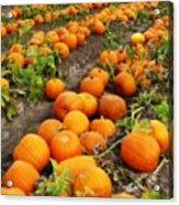 Pumpkin Patch Acrylic Print by Carol Groenen