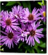 Purple Aster Blooms Acrylic Print by John Haldane