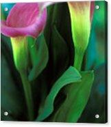 Purple Calla Duet Acrylic Print by Kathy Yates