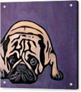Purple Pug Acrylic Print by Darren Stein