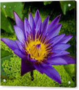 Purple Water Lily Acrylic Print by Ray Laskowitz - Printscapes