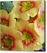 Raindrops On Yellow Flowers Acrylic Print by Carol Groenen
