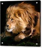 Raw Lion Power Acrylic Print by Julie L Hoddinott