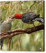 Red Bellied Woodpeck Feeding Young Acrylic Print by Alan Lenk