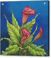 Red Calla Lillies Acrylic Print by Carol Sabo