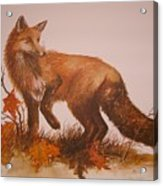 Red Fox Acrylic Print by Ben Kiger