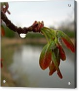 Red Maple Seed Pods At Dawn Acrylic Print by Kent Lorentzen
