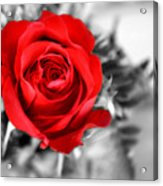 Red Rose Acrylic Print by Karen M Scovill