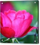 Red Rose Acrylic Print by Teresa Mucha