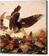 Red Shouldered Hawk Attacking Bobwhite Partridge Acrylic Print by John James Audubon