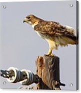 Red Tailed Hawk Perched Acrylic Print by Robert Frederick