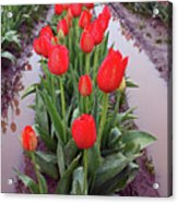 Red Tulip Row Acrylic Print by Kami McKeon