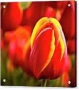 Red Tulip Acrylic Print by Tamyra Ayles