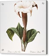 Redoute: Datura, 1833 Acrylic Print by Granger
