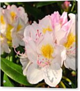 Rhododendron Acrylic Print by Catherine Reusch  Daley