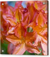 Rhododendron Flowers Acrylic Print by Frank Tschakert