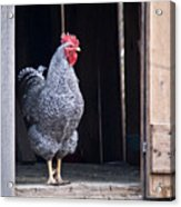 Rooster With Attitude Acrylic Print by Douglas Barnett