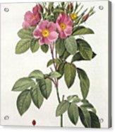 Rosa Carolina Corymbosa Acrylic Print by Pierre Joseph Redoute
