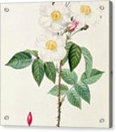 Rosa Damascena Subalba Acrylic Print by Pierre Joseph Redoute