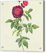 Rosa Gallica Gueriniana Acrylic Print by Pierre Joseph Redoute