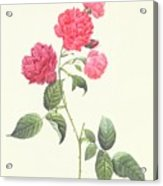 Rosa Indica Caryophyllea Acrylic Print by Pierre Joseph Redoute