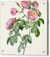 Rosa Mollissima Acrylic Print by Claude Antoine Thory
