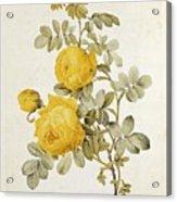 Rosa Sulfurea Acrylic Print by Pierre Redoute