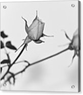 Rose Duo Acrylic Print by Ryan Kelly