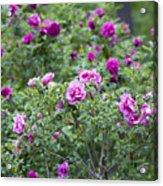 Rose Garden Acrylic Print by Frank Tschakert
