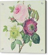 Rose Acrylic Print by Pierre Joseph Redoute