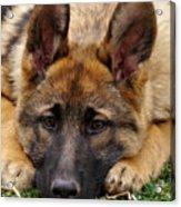 Sable German Shepherd Puppy Acrylic Print by Sandy Keeton