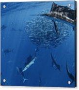 Sailfish Drive Their Prey Acrylic Print by Paul Nicklen