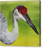 Sandhill Crane Acrylic Print by D Turner