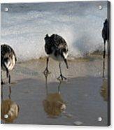 Sandpipers Feeding Acrylic Print by Dan Friend