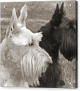Scottish Terrier Dogs In Sepia Acrylic Print by Jennie Marie Schell