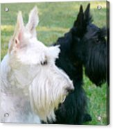 Scottish Terrier Dogs Acrylic Print by Jennie Marie Schell