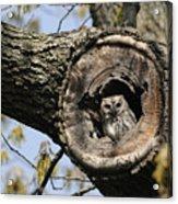 Screech Owl In A Tree Hollow Acrylic Print by Darlyne A. Murawski