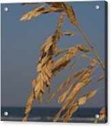 Sea Oats At Hunting Island State Park Acrylic Print by Anna Lisa Yoder