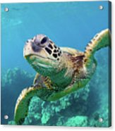 Sea Turtle, Hawaii Acrylic Print by Monica and Michael Sweet