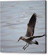 Seagull Landing Acrylic Print by Carol Groenen