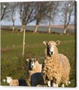 Sheep, Lake District, Cumbria, England Acrylic Print by John Short