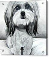 Shih Poo Graphite Acrylic Print by Chrissie Leander