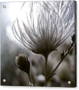 Shimmering Flower I Acrylic Print by Ray Laskowitz - Printscapes