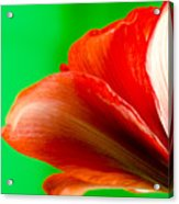 Simply Amaryllis Red Amaryllis Flower On A Green Background Acrylic Print by Andy Smy