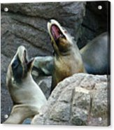 Singing Sea Lions Acrylic Print by Anthony Jones