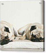 Sleeping Pug Dogs Acrylic Print by Elli Luca